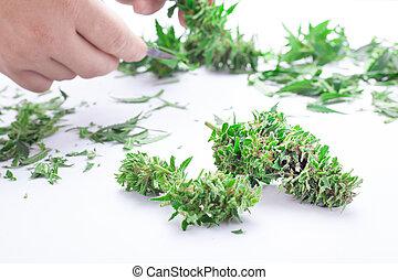 manicure, folhas, aparando, cânhamo, brotos, cannabis, sujeito