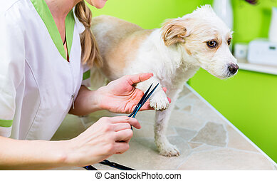 Manicure for dog in pet grooming salon - Pedicure for little...