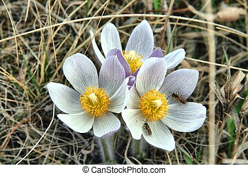 Manitoba Crocus - First crocus blooms the flower emblem of...