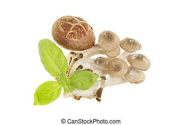 manjericão, fungos
