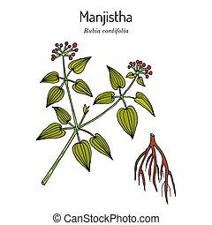 Manjistha Rubia cordifolia , or Indian madder, medicinal plant. Hand drawn botanical vector illustration