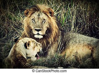 manlig lejon, och, kvinnlig lejon, -, a, par, på, savanna., safari, in, serengeti, tanzania, afrika