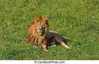 manlig lejon
