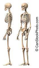 manlig, skelett, perspective., synen, sida, två, mänsklig
