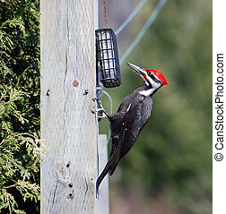 manlig, woodpecker., pileated