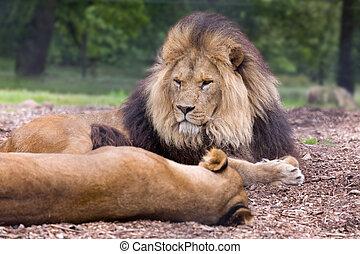 mann, afrikanischer löwe, liegen, in, wiese