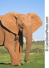 mann, elefant, portra