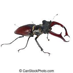 mann, freigestellt, käfer, rehbock, weißes