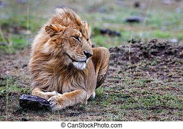 mann, mara., masai, löwe, sonnenuntergang, gras, liegen
