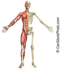 mann, muskulös, skelett, split, vorderansicht