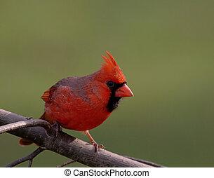 mann, nördlicher kardinal
