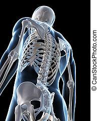mann, skelett