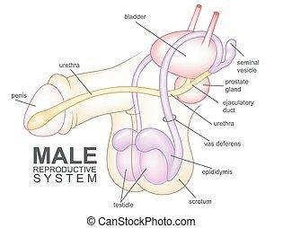 mann, system, reproduktiv, karikatur