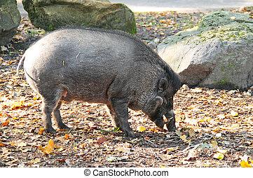 mann, visayan, warty, schwein
