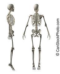 mann, voll, skelett, seite, und, hinterer blick