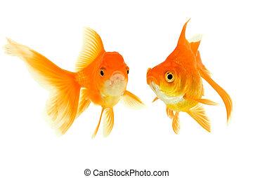mann, weibliche , goldfische