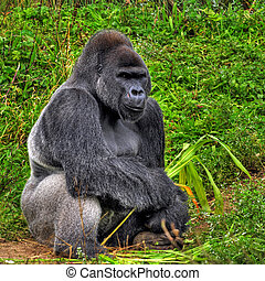 mannelijke , hdr, zittende , beeld, back, gorilla,...