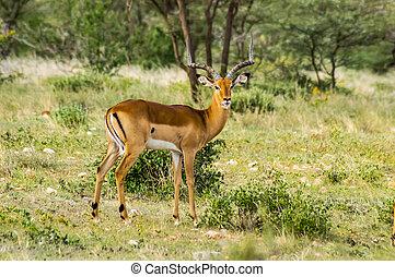 mannelijke , impala, met, nieuwsgierig, blik, in, de, savanne, van, samburu, park