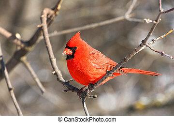 mannelijke , kardinaal, noordelijk, cardinalis