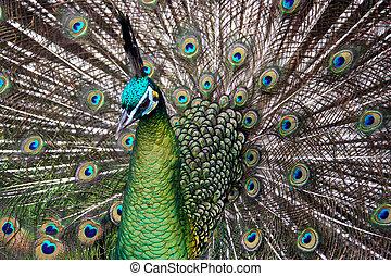 mannelijke , soort, gebrengenene in gevaar, (peacock), -, ...