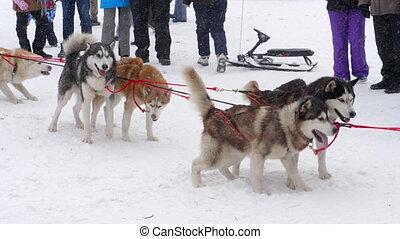 mannschaft, von, heiser, sled hunde