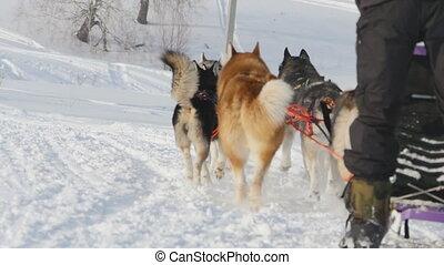 mannschaft, von, heiser, sled hunde, mit, dog-driver
