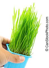 mano, asimiento, maceta, con, wheatgrass