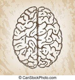 mano, disegnato, vettore, illustrazione, -, cervello umano, schizzo, con, vista superiore, entrambi, emisferi, di, cerebrale, cortex.