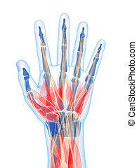 mano humana, músculos