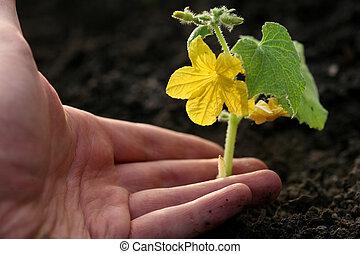 mano, plantación, pequeño, pepino, en, tierra