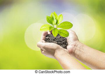 manos humanas, tenencia, pequeño, planta