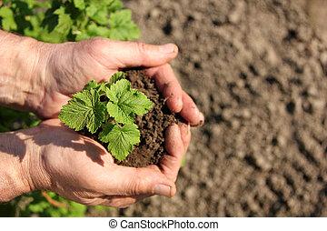 manos, tenencia, planta de semillero