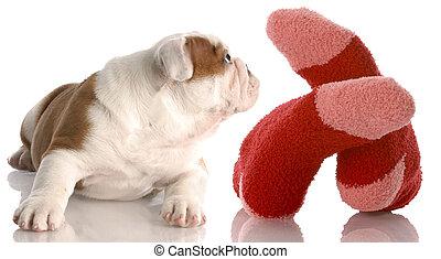 man\'s best friend - english bulldog puppy laying beside...