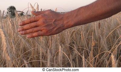 Mans hand amongst ears of wheat - Mans hand amongst ripening...