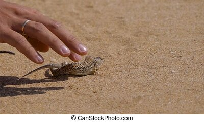 man's hand caress two small lizards in desert
