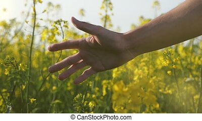 Man`s hand moving and touching the yellow flowers of...