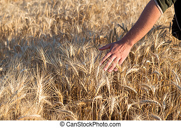 Man's hand touches wheat on the field
