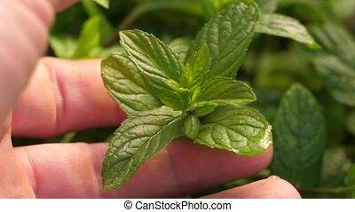 Man's hand touching mint herb - Man's hand carefully...