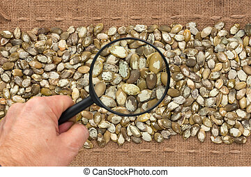 Man's hand with magnifying glass over pumpkin seed