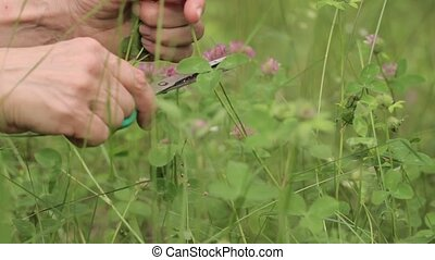 Man's hands, grass, clover flowers.