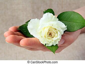 man\'s, rosa, bianco, mano