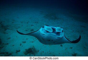 Manta and coral reef diving underwater