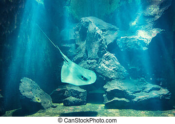Manta ray floating underwater near coral reef