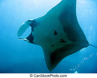 Manta Ray From Underneath, Koh Bon, Thailand