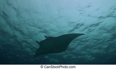 Manta ray in blue water