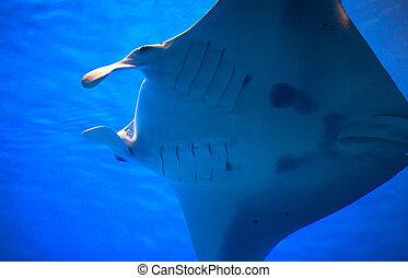 Manta ray in Churaumi Aquarium