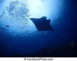 Manta ray in Ishigaki island.