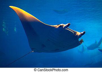 Manta ray in Okinawa
