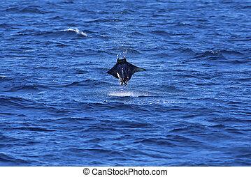Manta ray jumping out of the water on Galapagos