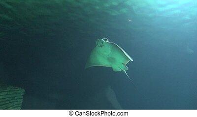 Manta Ray Marine Life